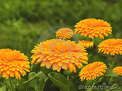 Spring flowers golden calendula  background