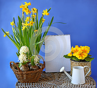 Spring flowers hyacinth, daffodil, primula on a background the c
