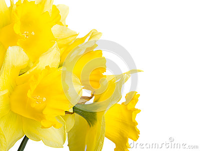 Spring flowers narcissus