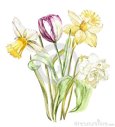 Spring flowers narcissus and tulip isolated on white background. Watercolor hand drawn illustration. Cartoon Illustration