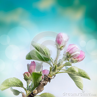 Free Spring Flowers Of Apple Tree On Blurred Blue Background Royalty Free Stock Photos - 50854238