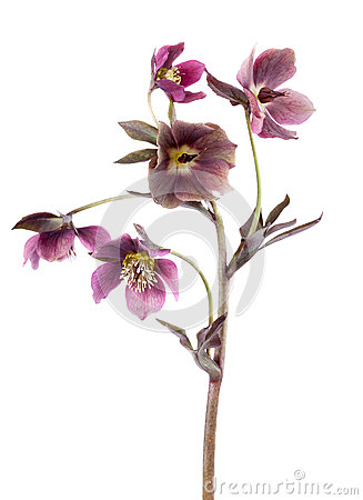 Free Spring Flowers Of Hellebore Isolated On White Vertical Composition Stock Photo - 88594180