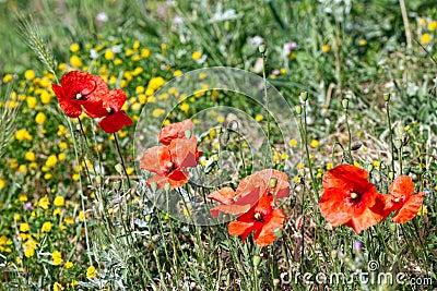 Spring flowers - Poppy