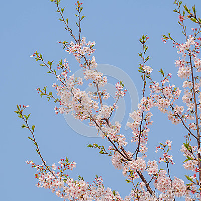 Free Spring Flowers Series, Cherry Blossom In Tongji University Royalty Free Stock Images - 39394909