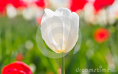 Spring flowers series, white tulip among red tulips in field
