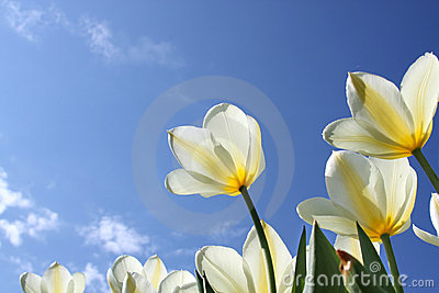 Spring flowers - white tulips