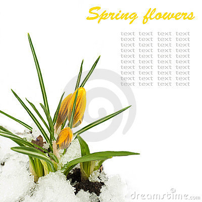 Spring flowers,yellow crocuses, snow