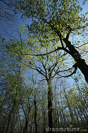 Spring Forest Canopy