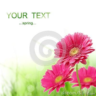 Free Spring Gerber Flower Royalty Free Stock Image - 17838636