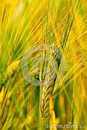 Spring grain