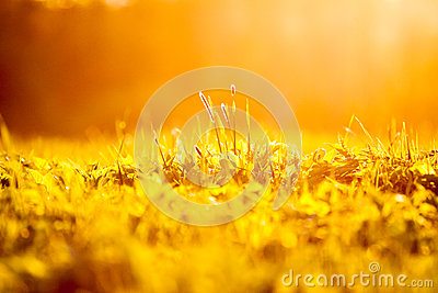 Spring grass background at sunset
