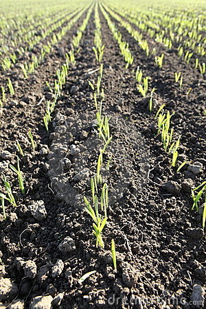 Spring growth in wheat paddock