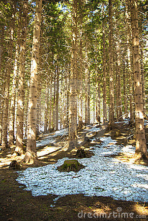 Free Spring In A Pine Forest Stock Image - 23939721