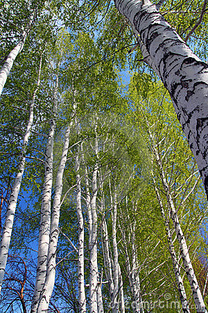 Free Spring In Birch Tree Woods Stock Image - 5131801
