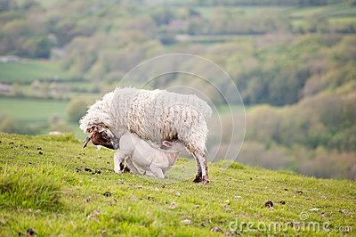 Spring lamb and ewe mother