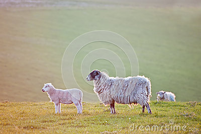 Spring lamb and ewe sheep in sunrise landscape