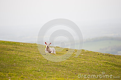 Spring lamb in Spring