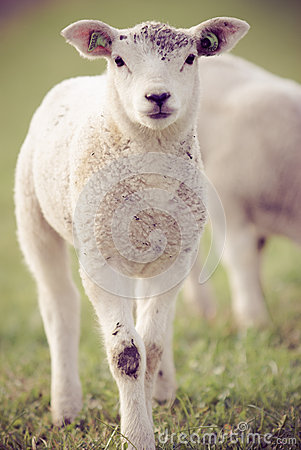 Free Spring Lambs Royalty Free Stock Photography - 26640057