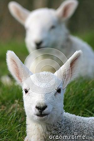 Free Spring Lambs Royalty Free Stock Image - 663806