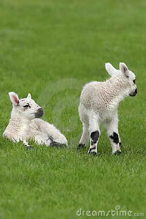 Free Spring Lambs Royalty Free Stock Images - 7413509