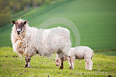 Spring lamd and ewe mother in Spring