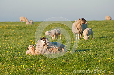 Spring lams and sheep in rural landscape