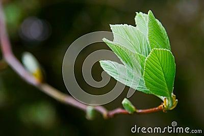 Spring leaf on tree brunch