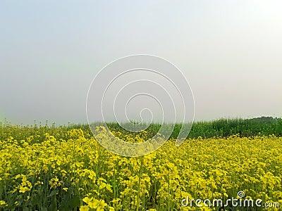 Spring Mustard field