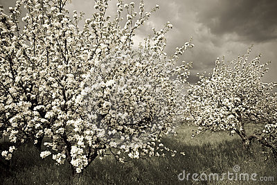 Spring orchard 2
