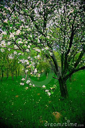 Free Spring Orchard Royalty Free Stock Images - 2367469