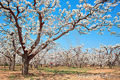 Spring pear orchard