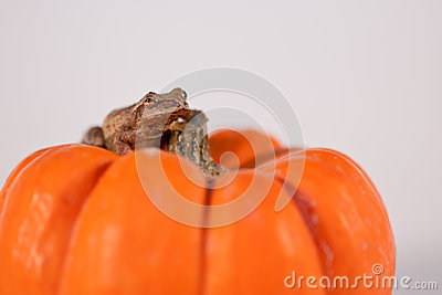 Spring Peeper sitting on a Pumpkin