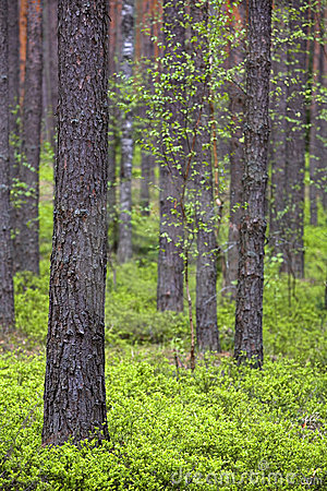 Free Spring Pine Forest Royalty Free Stock Images - 6351569