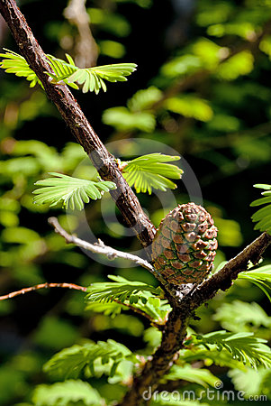 Spring Pinecone in a pine tree