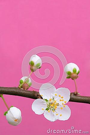 Spring plum blossom
