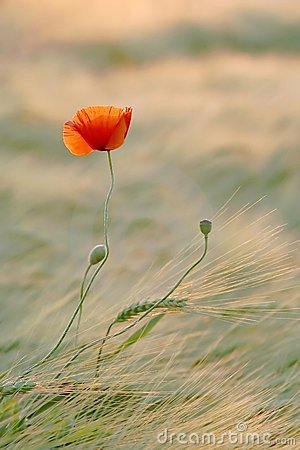 Spring poppy wildflower on a meadow