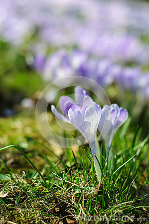 Free Spring Purple Crocus On Green Grass At Sunny Day Royalty Free Stock Photo - 52782155