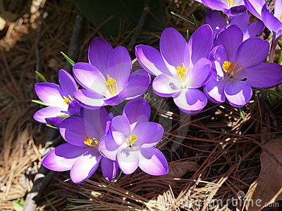 Spring: purple crocus in sunlight