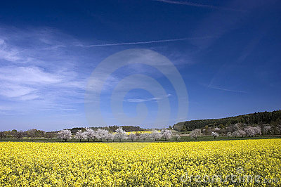 Spring rapeseed fields