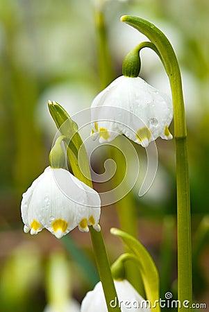 Spring snowflakes flowers