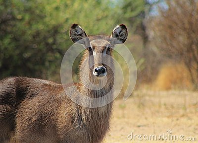 Spring stare from Waterbuck mom - Africa