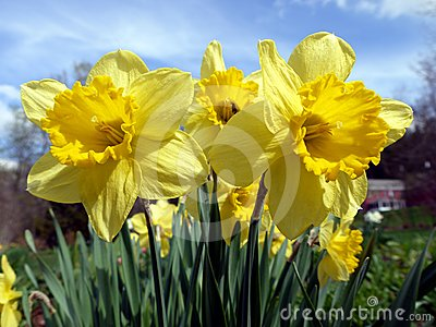 Spring: sunlit yellow daffodils