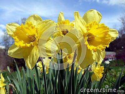 Spring: sunlit yellow daffodils