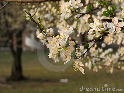 Spring time - plum flowers