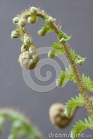 Spiral Fern Frond