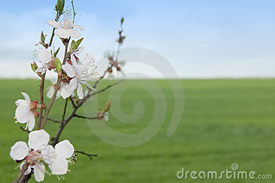 Spring tree with flowers against meadow