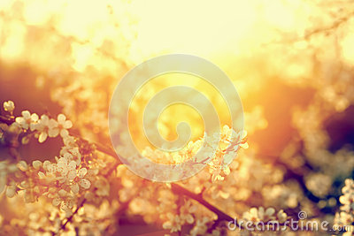 Spring tree flowers blossom, bloom in warm sun. Vintage Stock Photo