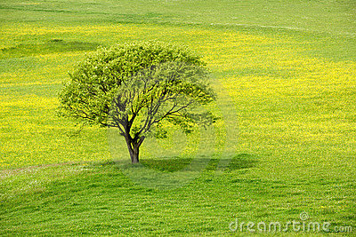 Spring tree in a green meadow
