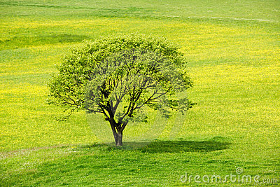 Spring tree in a yellow blossom meadow
