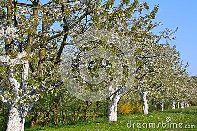 Spring trees in blossom, Bavaria, Germany